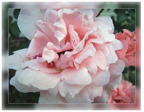 zomaar een roos