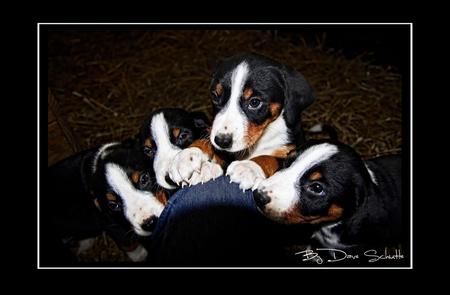 Puppy Love - Nestje Appenzeller pups, 1 mag er over een weekje mee naar huis!, wie o wie zal het worden? - foto door Sunjohan op 29-11-2009 - deze foto bevat: hond, puppy, nest, pups, appenzeller