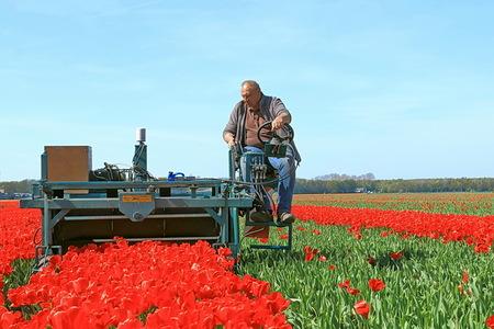 tulpen toppen - Deze man is bezig om de tulpen te toppen. 05-05-2016  Groet Roland - foto door ro op 03-04-2017 - deze foto bevat: tulpen, lente, voorjaar, tulpenveld