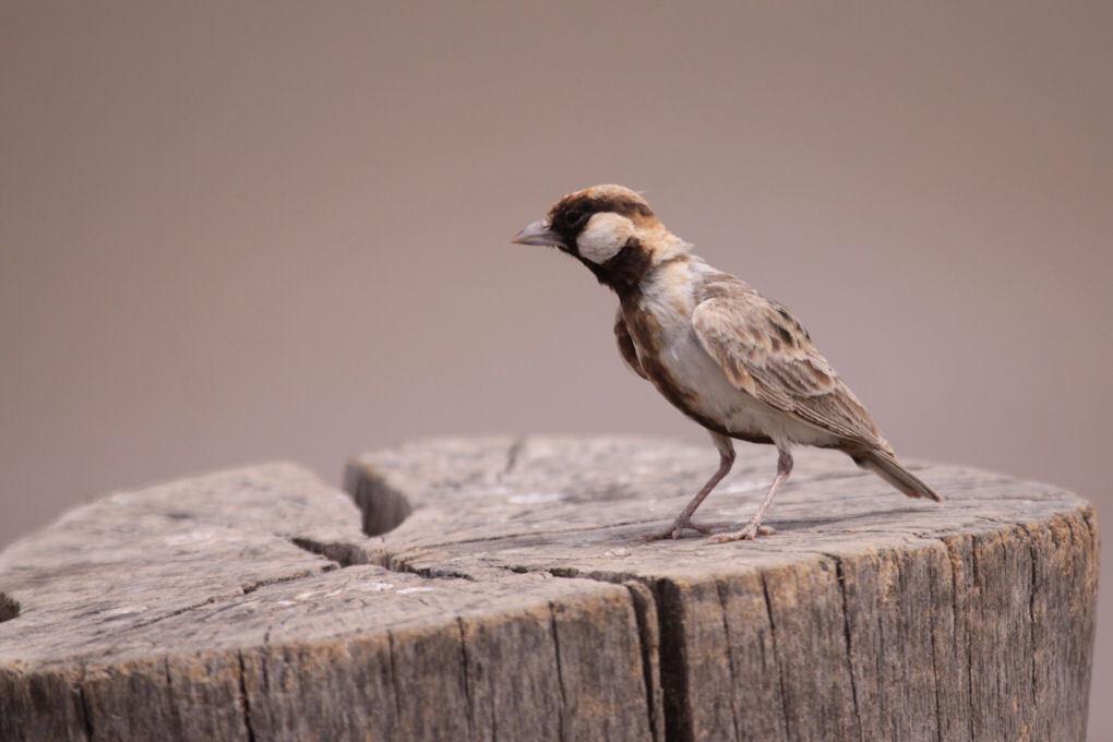 Sparrow Lark - Deze dag hebben we een lange gamedrive en de lunchpakketten gaan mee. Rond het middaguur stoppen we voor een lunchpauze op een picknickplek op de top - foto door dunawaye op 08-10-2010 - deze foto bevat: safari, vogel, kenia, sparrow, kenya, amboseli, Amboseli Game Reserve, Fisher's Sparrow Lark, Sparrow Lark, Lark
