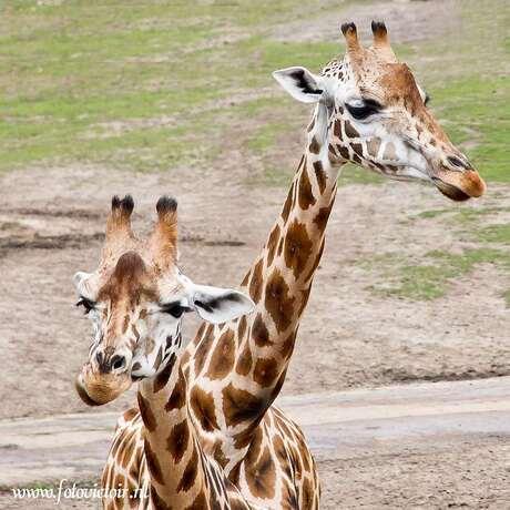 Giraf met de twee ....