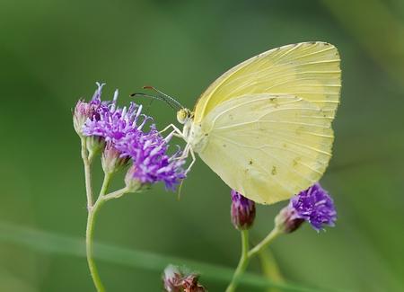 laatste - Na veel wikken en wegen heb ik dan toch besloten om mijn abonnement op Zoom op te zeggen. Niet omdat ik het niet leuk vind, vind het een erg mooi en  - foto door ingrid.m op 19-07-2012 - deze foto bevat: macro, vlinder, geel, insect, bali