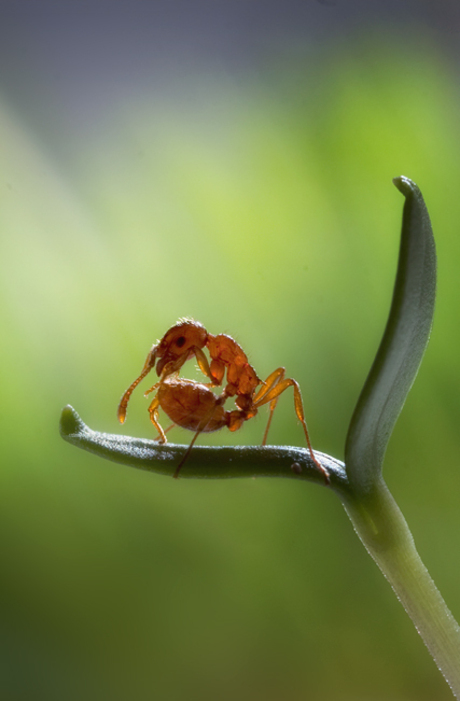 genus Myrmica