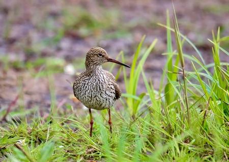 Tureluur - De weidevogels,waaronder de tureluur worden ook in het binnenland weer gesignaleerd - foto door GerardvO op 25-02-2021 - deze foto bevat: natuur, vogel