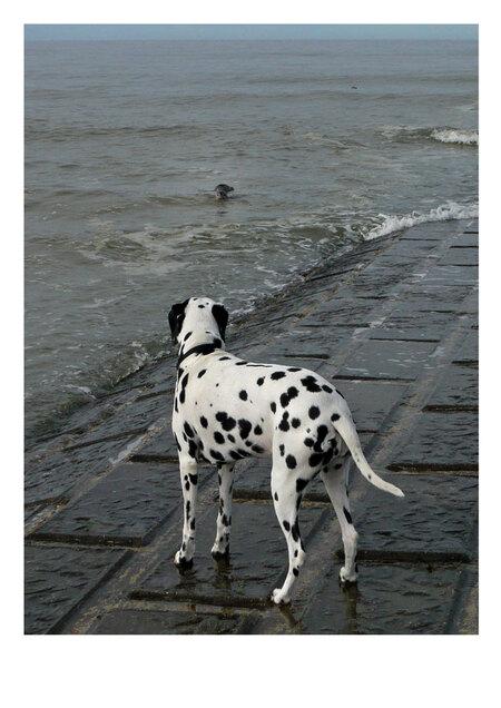 Dog-meeting - Toen we in februari naar Koksijde gingen zaten er aan de golfbreker 6 zeehondjes. ( misschien zitten ze er nog wel ) Deze dalmatiër was even nieuwsg - foto door keiko4 op 28-03-2009 - deze foto bevat: hond, zeehond, noordzee, golfbreker, dalmatier