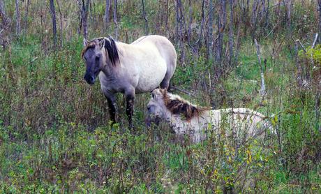 konikspaarden verscholen in het herfstgroen