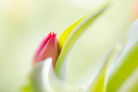 Tulp uit schulp - Velvet 85mm - foto door info-2377 op 06-03-2021 - deze foto bevat: groen, bloem, natuur, velvet 85