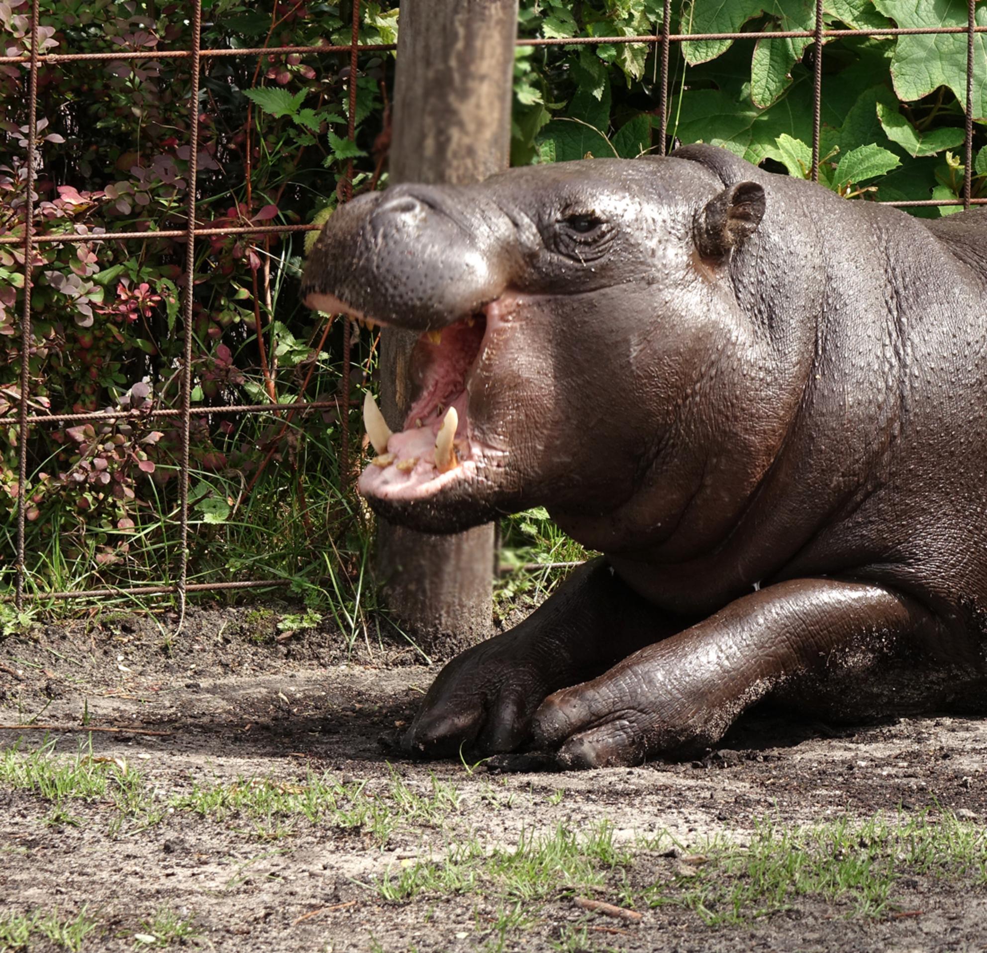 jaaaaa....leuk - mini nijlpaard met lol:) gr. Nel - foto door Nel Hoetmer op 17-09-2015 - deze foto bevat: dieren, blijdorp, nel