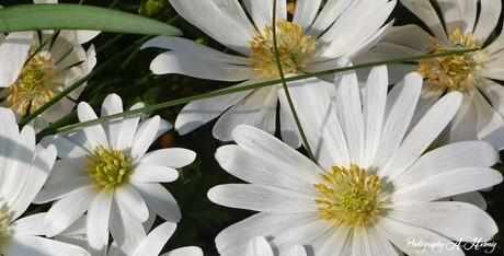 Bos anemonen