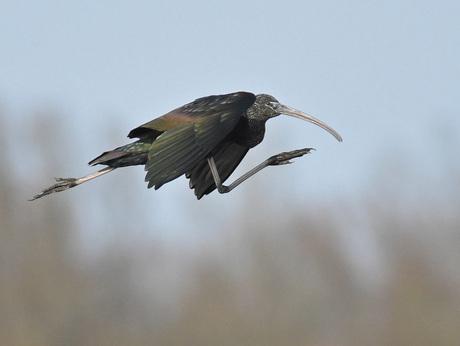 Deze Zwarte Ibis vindt dat het niet snel genoeg gaat:-)