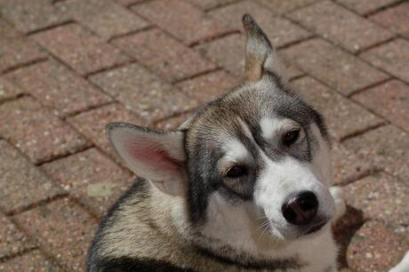 Husky Pax