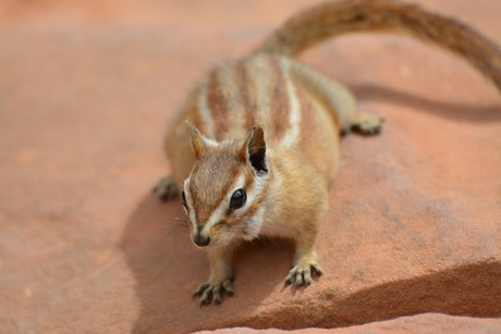 Chipmunk in Yellowstone National Park USA