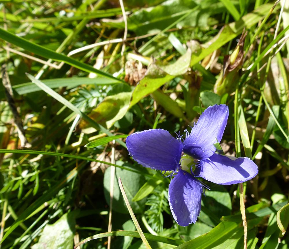 veldgentiaan 2 - De veldgentiaan van een aantal foto's geleden is nu open.... - foto door ekeren op 10-10-2012 - deze foto bevat: blauw, alpenbloem, veldgentiaan