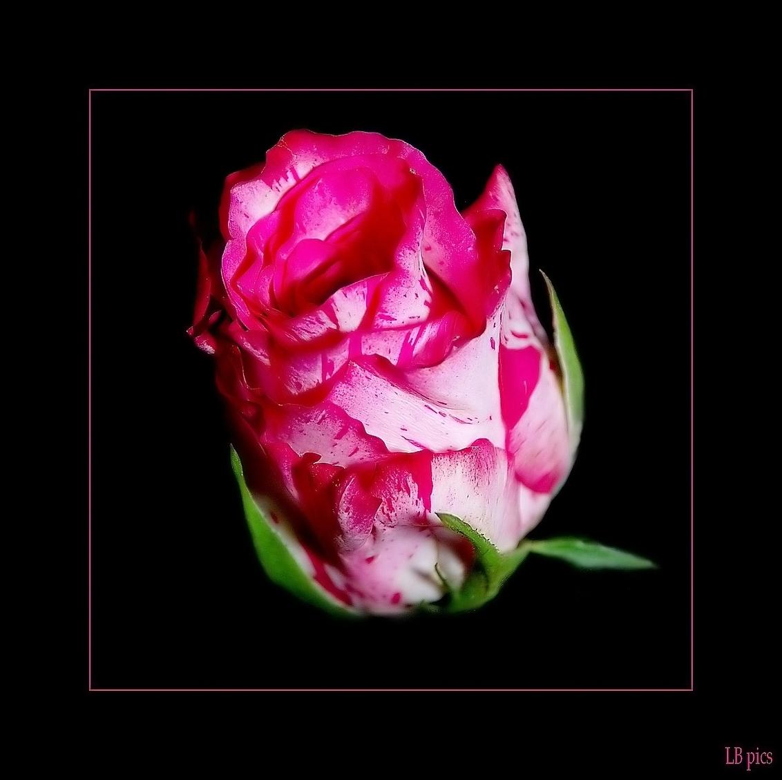 N-Joy - geniet er van - foto door XIANG op 20-02-2010 - deze foto bevat: roos