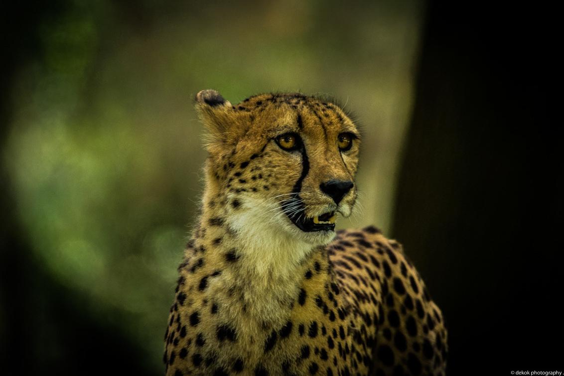 Cheetah - Cheetah SBB Hilvarenbeek Holland - foto door dekok op 04-06-2017 - deze foto bevat: hilvarenbeek, nikon d500