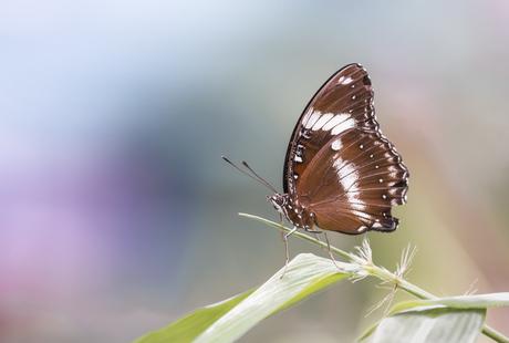Hypolimnas salmacis