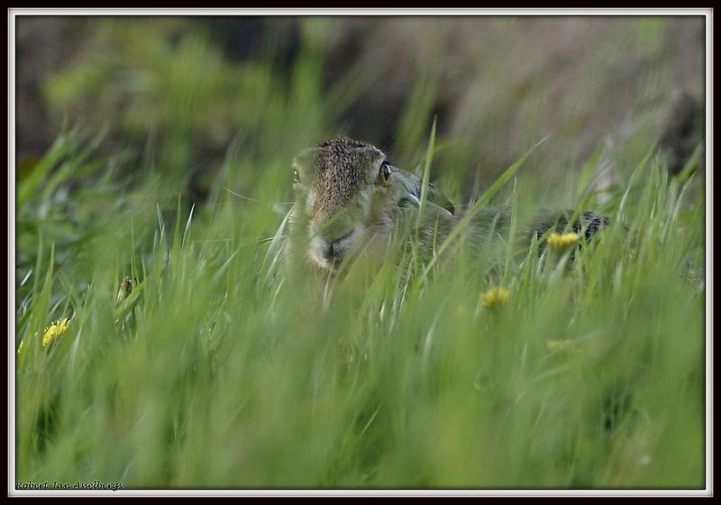 haas - Een haas in de dekking. - foto door robert-jan51 op 15-05-2013 - deze foto bevat: haas