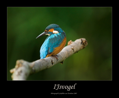 Ijsvogel 3