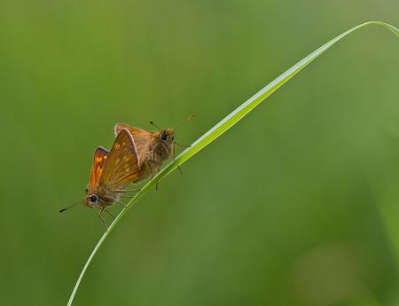dubbeldik - Maar even een paar andere vlindertjes tussendoor maar ook van de zoomdag in Hancate, ook tegenlicht maar dat valt hier wat minder op. Deze dikkopjes  - foto door ronab op 10-07-2013 - deze foto bevat: macro, compositie, paren, hancate, dikkopjes, ronab