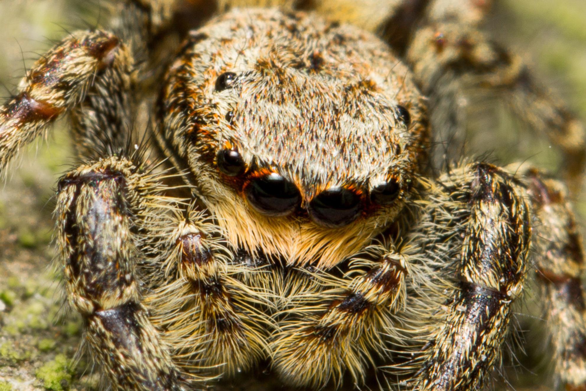 Portret springspin - close-up van een springspin die zat te zonnen in mijn tuin. (Dat mag, maar ik maak wel foto's) - foto door martin-60 op 30-04-2017 - deze foto bevat: macro, zon, lente, natuur, spin, bruin, tuin, insect - Deze foto mag gebruikt worden in een Zoom.nl publicatie