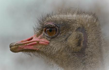 ****** Struisvogel ***** - Struisvogel ... !  Foto is gemaakt in Dierg@@rde Blijdorp!  Groet, Ruud - foto door kyano09 op 31-03-2013 - deze foto bevat: foto, kleur, rotterdam, struisvogel, dierentuin, natuur, vogels, dieren, vogel, dier, struisvogels, zoo, diergaarde, fotos, dierentuinen