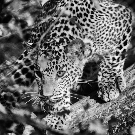 Sri Lanka Panter jong in zwartwit