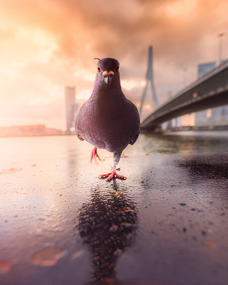The Pigeon