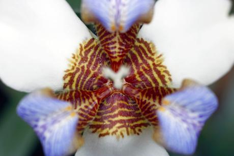 hartorchidee