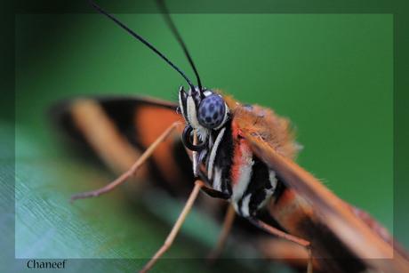 kloos up vlinder