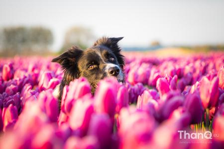Fenna tussen de tulpen - Fenna kijkt naar mij om tussen de tulpen. We zitten beide in een ander laantje in het tulpenveld waardoor zowel op de voor- als achtergrond tulpen te - foto door p.bezuijen op 17-04-2017 - deze foto bevat: tulpen, lente, licht, bloemen, huisdier, hond, tulpenveld, hondenfotografie, Border Collie, hondenfotograaf