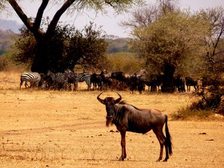 Kudde gnoes in de Serengeti