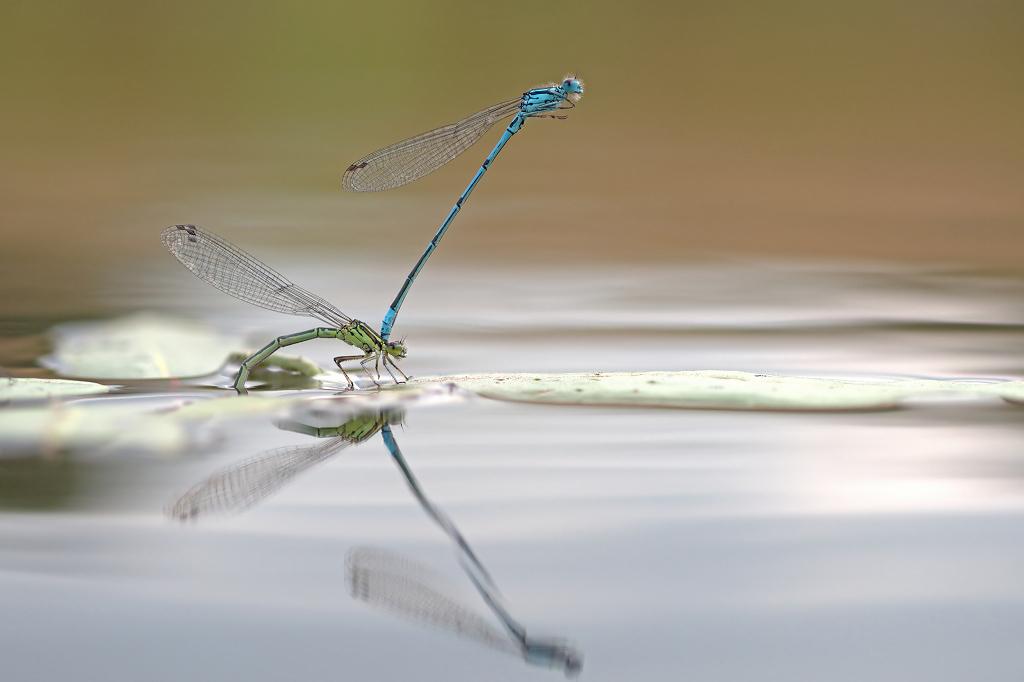 Natte voeten - Met de camera vlak boven het water en tot de enkels in het water en wachten maar. Mijn geduld werd beloond. - foto door Paul1973_zoom op 23-08-2016 - deze foto bevat: macro, water, juffer, natuur