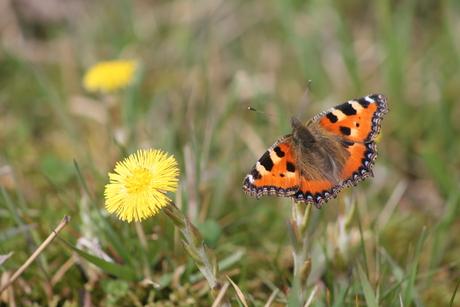 Eerste vlinder van 't seizoen
