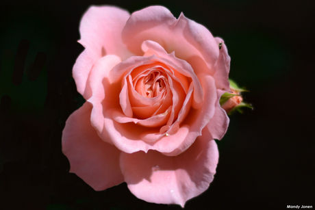 The Rose of Love 3