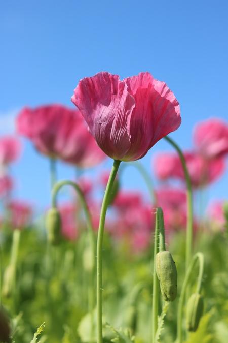 Maanzaad! - (hoe kan ik deze foto een kwartslag draaien?) - foto door Kimspics op 02-07-2016 - deze foto bevat: bloem, klaproos, zomer, zeeland, nederland, maanzaad