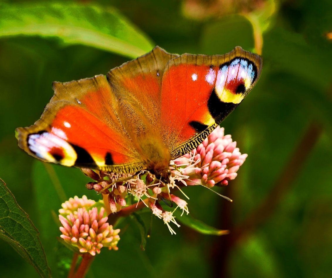 Peacock in 't groen. - Peacock in 't groen. Elke fotograaf valt wel voor een mooie vlinder, denk ik. Deze soort is natuurlijk vaker geplaatst en heel mooi, zo niet mooier i - foto door Terpstra.A op 28-04-2013 - deze foto bevat: vlinder, voorjaar