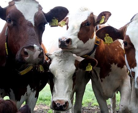 Opzij, ik wil ook op de foto - Deze dames verdrongen zich om op de foto te mogen staan ;-) - foto door Dodsi op 07-08-2013 - deze foto bevat: bruin, koeien, koe, luieren, nieuwsgierig, weiland, grazen, twente, hoorns, melkkoe, grasland, viervoeters, uiers