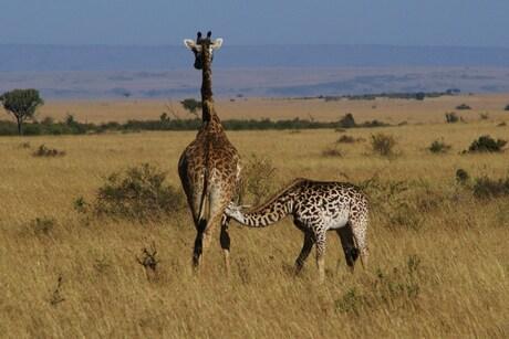 Masai giraf met jong