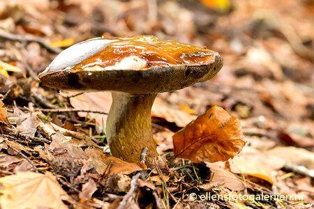 Herfst 2 - Het lijkt wel gelei op de hoed ... wonderlijk de natuur. - foto door ellen-zeist op 17-10-2015 - deze foto bevat: macro, natuur, paddestoel, herfst, dof