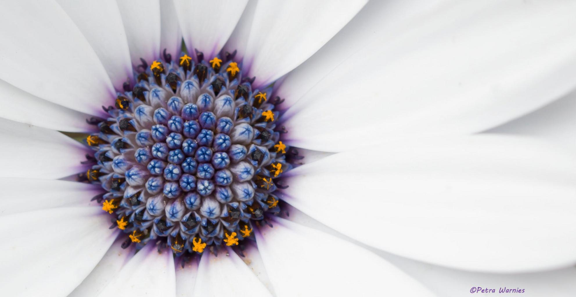 flowerbomb........ - Spaanse Margriet in bloei dd oktober 2014 - foto door petramail op 28-10-2014 - deze foto bevat: bloem