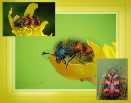 Bijenwolf Collage!! - Hallo... de meeste macroliefhebbers zullen dit waarschijnlijk wel niet zo mooi vinden omdat ik er een collage van heb gemaakt, maar ik vond het wel  - foto door smeagol op 20-05-2009 - deze foto bevat: macro, kever, bijenwolf, s5, smeagol, 250d