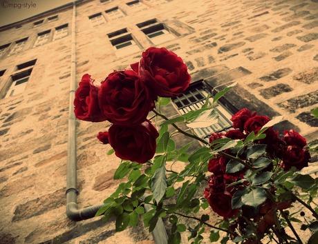 rode rozen (ippawards schoolopdracht schoolopdracht fotografie: 'Flowers')
