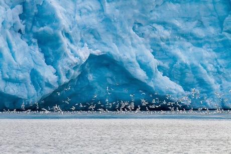 Drieteenmeeuwen op Spitsbergen
