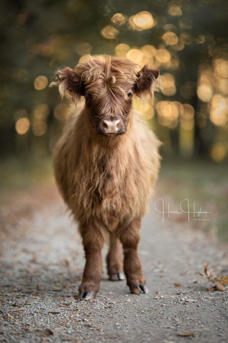 Schotse Hooglander Kalf door een Portretlens