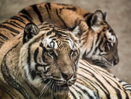 Tijger 1 - Na jaren zonder fotografie heb ik toch maar weer een cameraset gekocht. Dit keer een systeemcamera vanwege het lichtere gewicht. Wat word ik daar wee - foto door PhotoMad op 03-03-2019 - deze foto bevat: tiger, tijger, hoenderdaell, grote kat, stichting leeuw, big cat