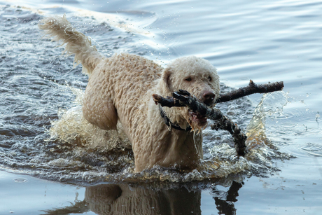 labradoodle spelen in het water