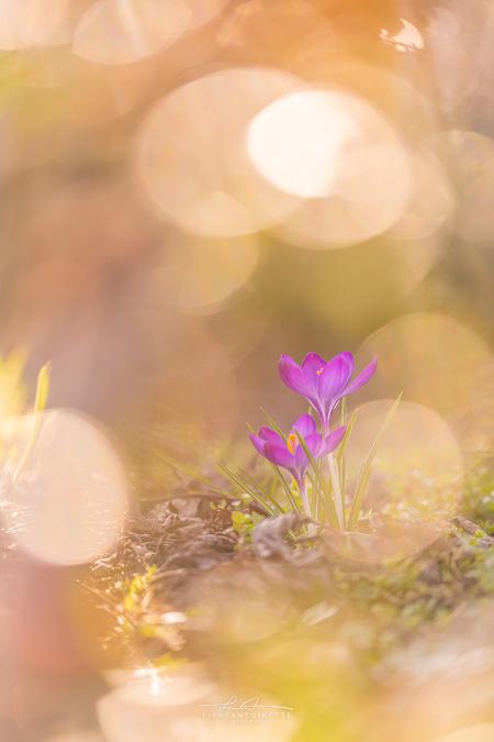 Krokussen - vandaag samen met een vriendin 9,2 kilometer gelopen opzoek naar krokussen missie is geslaagd!   *Volledige album is te zien op mijn website, Link  - foto door LisaAnn91 op 02-03-2021 - deze foto bevat: roze, groen, paars, macro, zon, lente, natuur, licht, oranje, tegenlicht, voorjaar, dof, krokussen, bokeh, voorjaarsbloeiers
