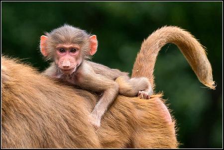 Lekker plekje - Heerlijk op moeders rug alles in de gaten houden. - foto door mech op 28-06-2014 - deze foto bevat: dierentuin, aap, emmen
