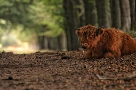 Jonge Schotse hooglander