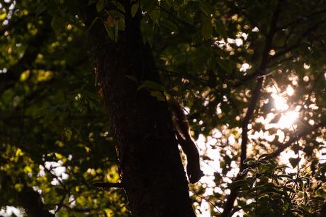 Eekhoorn silhouet